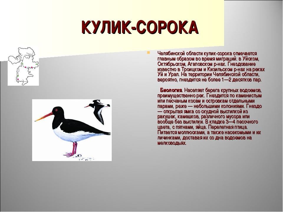 КУЛИК-СОРОКА Челябинской области кулик-сорока отмечается главным образом во в...