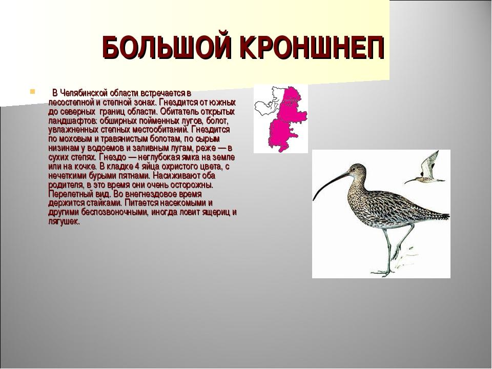 БОЛЬШОЙ КРОНШНЕП  В Челябинской области встречается в лесостепной и степной...