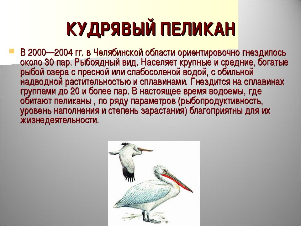 КУДРЯВЫЙ ПЕЛИКАН В 2000—2004 гг. в Челябинской области ориентировочно гнездил...