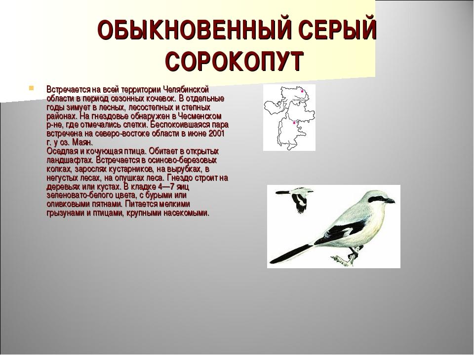 ОБЫКНОВЕННЫЙ СЕРЫЙ СОРОКОПУТ Встречается на всей территории Челябинской облас...