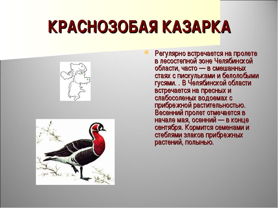 КРАСНОЗОБАЯ КАЗАРКА Регулярно встречается на пролете в лесостепной зоне Челяб...