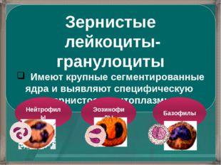 Зернистые лейкоциты-гранулоциты Имеют крупные сегментированные ядра и выявляю