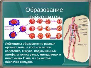 Образование лейкоцитов Лейкоциты образуются в разных органах тела: в костном