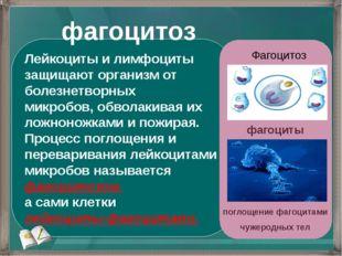 Лейкоциты и лимфоциты защищают организм от болезнетворных микробов, обволакив