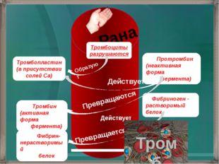 Рана Тромбоциты разрушаются Тромбопластин (в присутствии солей Са) Протромби