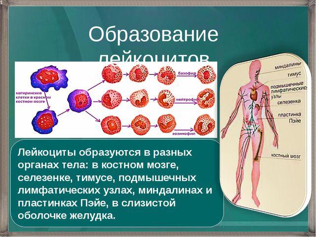 Образование лейкоцитов Лейкоциты образуются в разных органах тела: в костном...