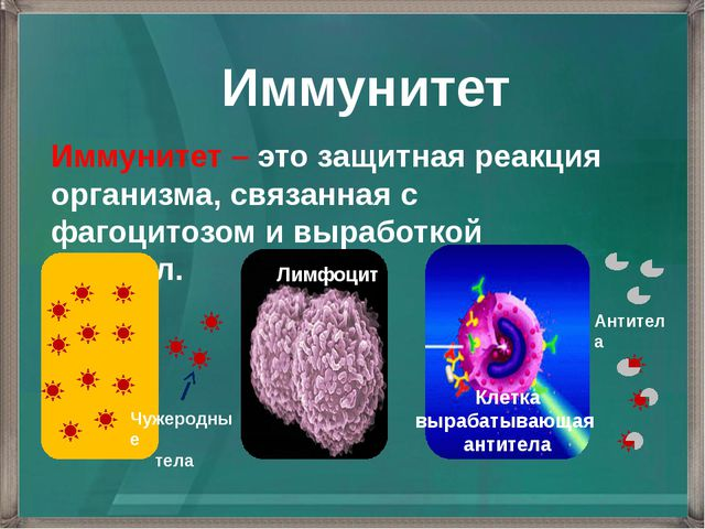 Иммунитет Иммунитет – это защитная реакция организма, связанная с фагоцитозом...