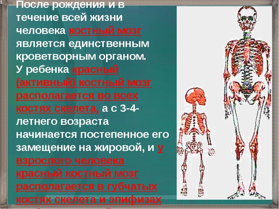 После рождения и в течение всей жизни человека костный мозг является единстве...