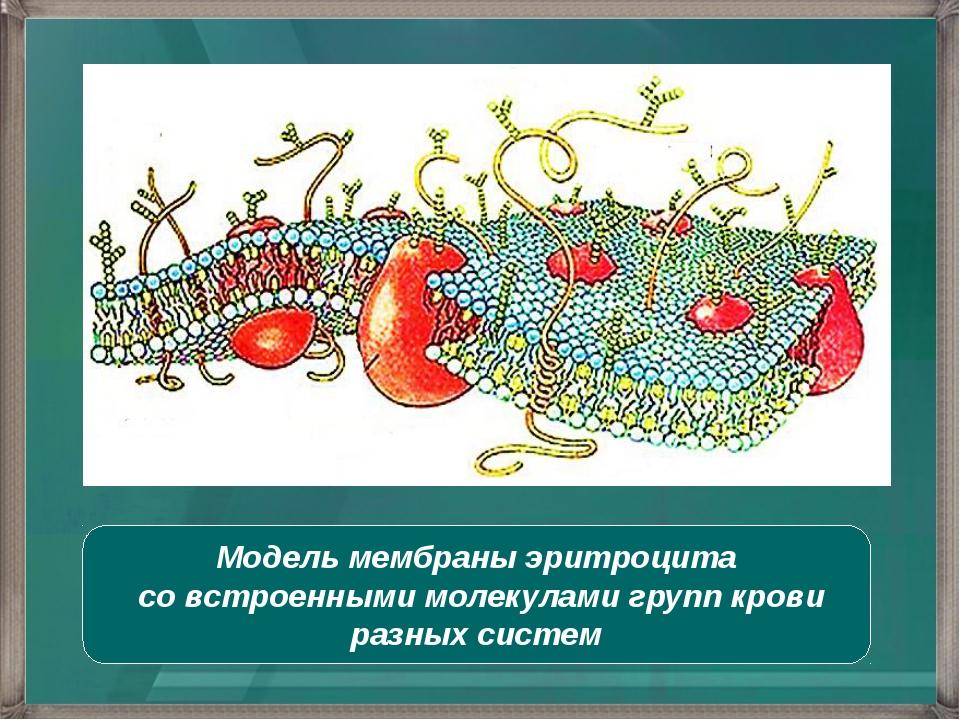 Модель мембраны эритроцита со встроенными молекулами групп крови разных систем