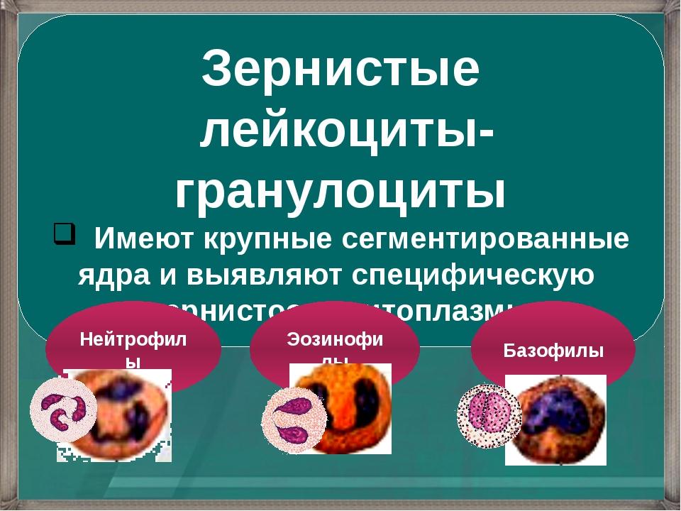 Зернистые лейкоциты-гранулоциты Имеют крупные сегментированные ядра и выявляю...