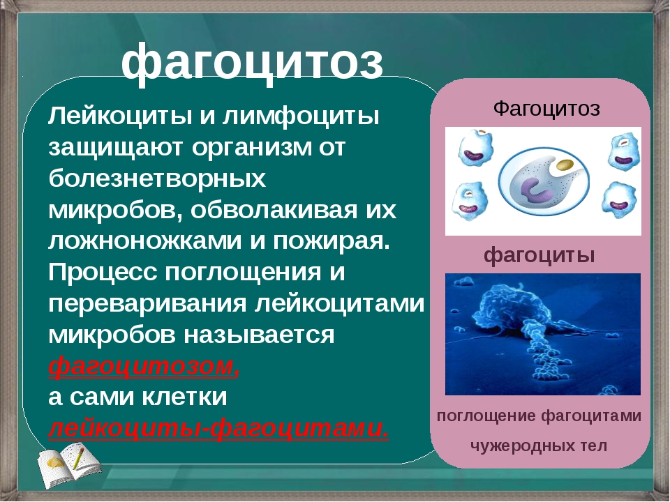 Лейкоциты и лимфоциты защищают организм от болезнетворных микробов, обволакив...