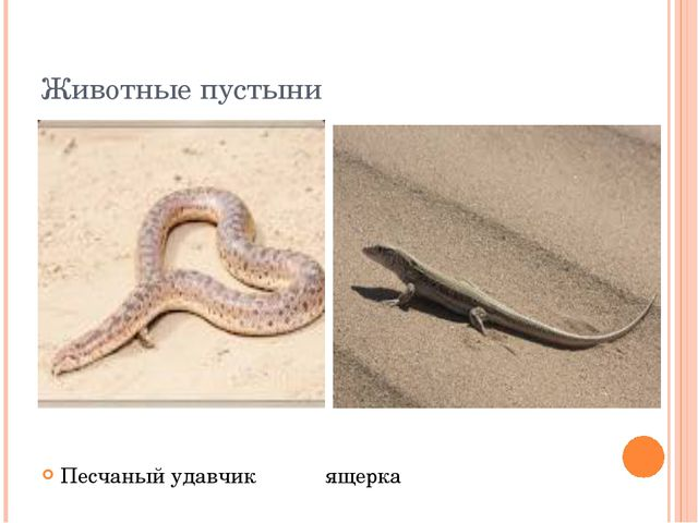 Животные пустыни Песчаный удавчик ящерка