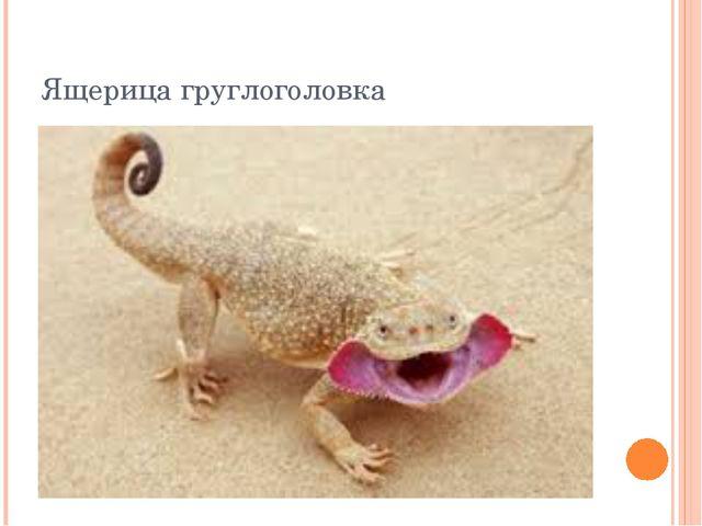 Ящерица груглоголовка