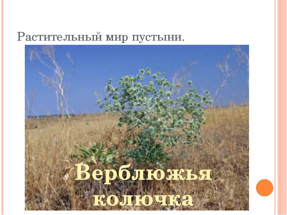 Растительный мир пустыни. Верблюжья колючка