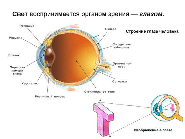 Свет воспринимается органом зрения — глазом. Строение глаза человека