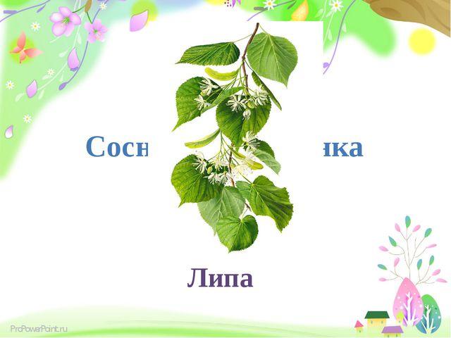 Сосна, липа, ялинка Липа ProPowerPoint.ru