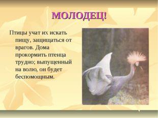 МОЛОДЕЦ! Птицы учат их искать пищу, защищаться от врагов. Дома прокормить пте
