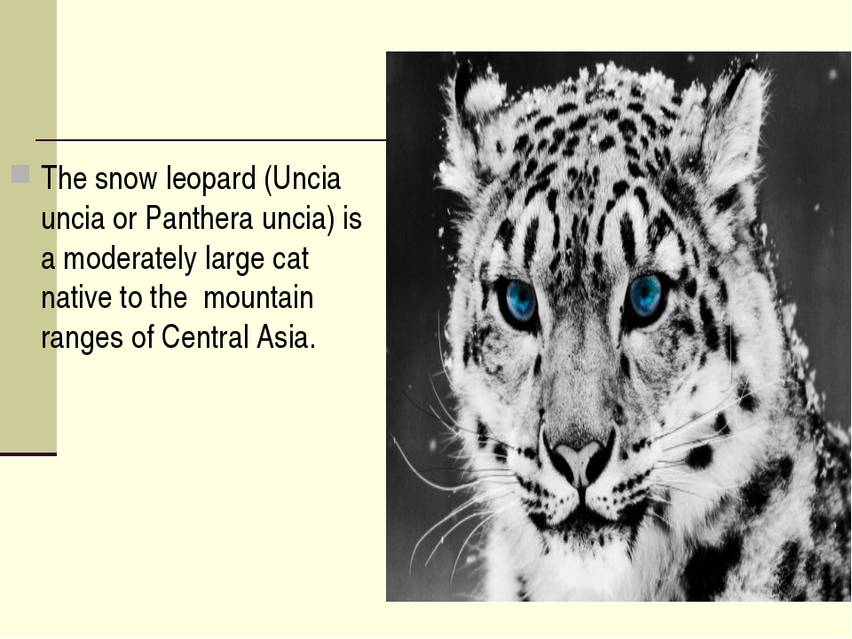 The snow leopard (Uncia uncia or Panthera uncia) is a moderately large cat na...