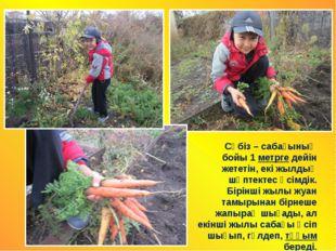 Сәбіз – сабағының бойы 1 метрге дейін жететін, екі жылдық шөптектес өсімдік.