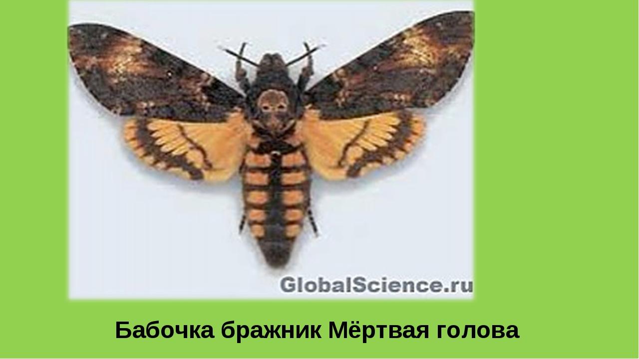 Бабочка бражник Мёртвая голова