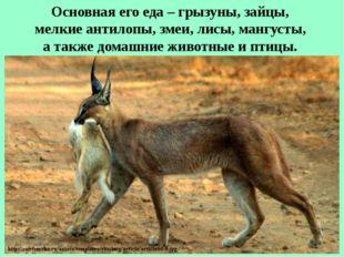 Основная его еда – грызуны, зайцы, мелкие антилопы, змеи, лисы, мангусты, а т