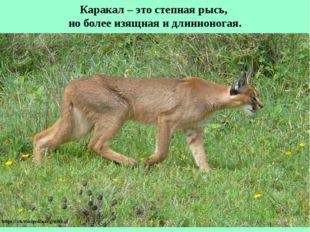 Каракал – это степная рысь, но более изящная и длинноногая.