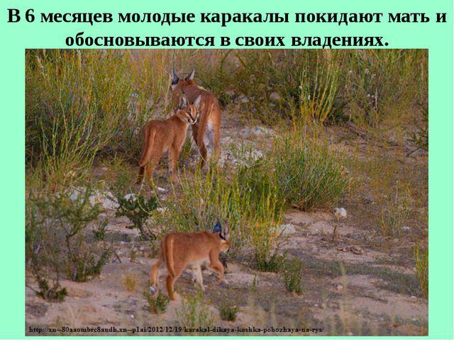 В 6 месяцев молодые каракалы покидают мать и обосновываются в своих владениях.