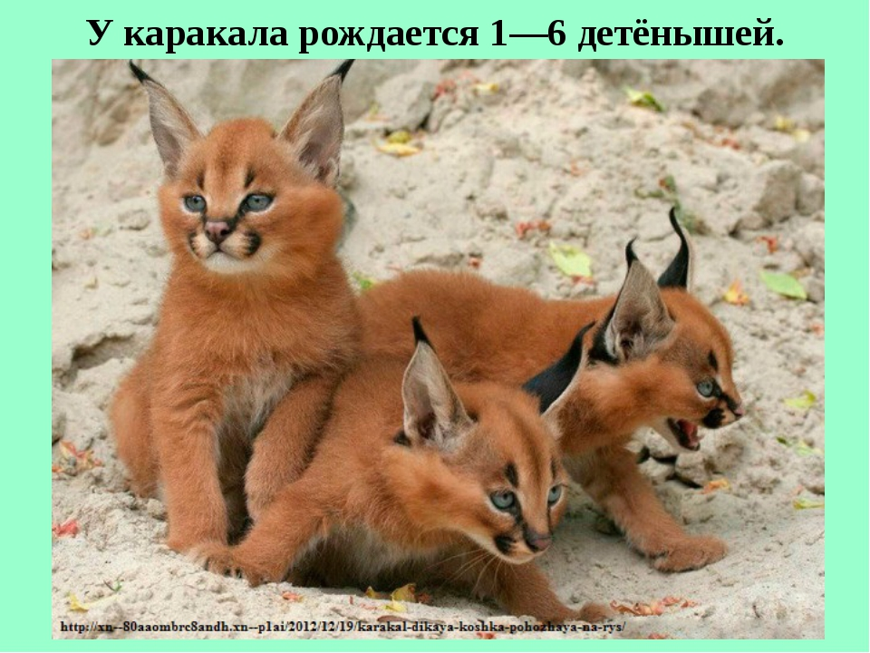 У каракала рождается 1—6 детёнышей.
