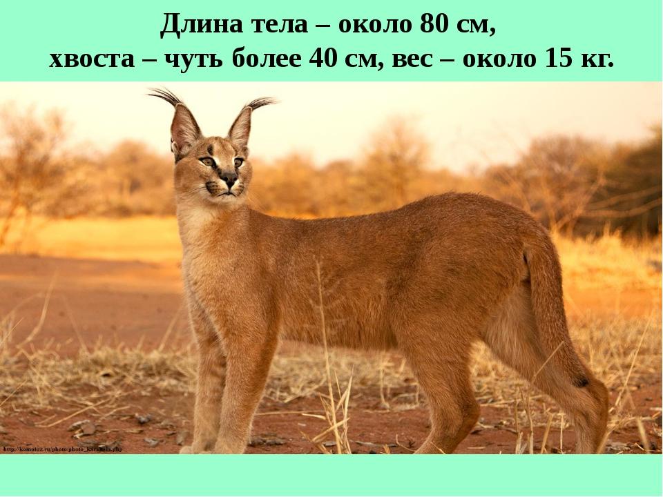 Длина тела – около 80 см, хвоста – чуть более 40 см, вес – около 15 кг.