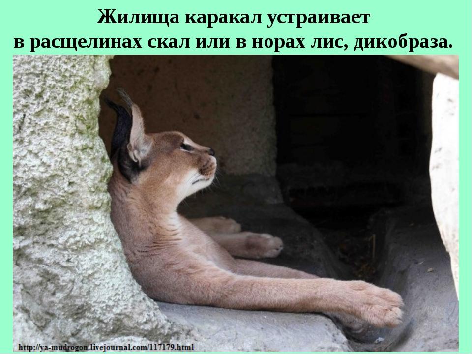 Жилища каракал устраивает в расщелинах скал или в норах лис, дикобраза.