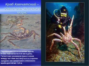 Краб Камчатский – обитатель Охотского моря. Перемещаются колониями вдоль п-ов