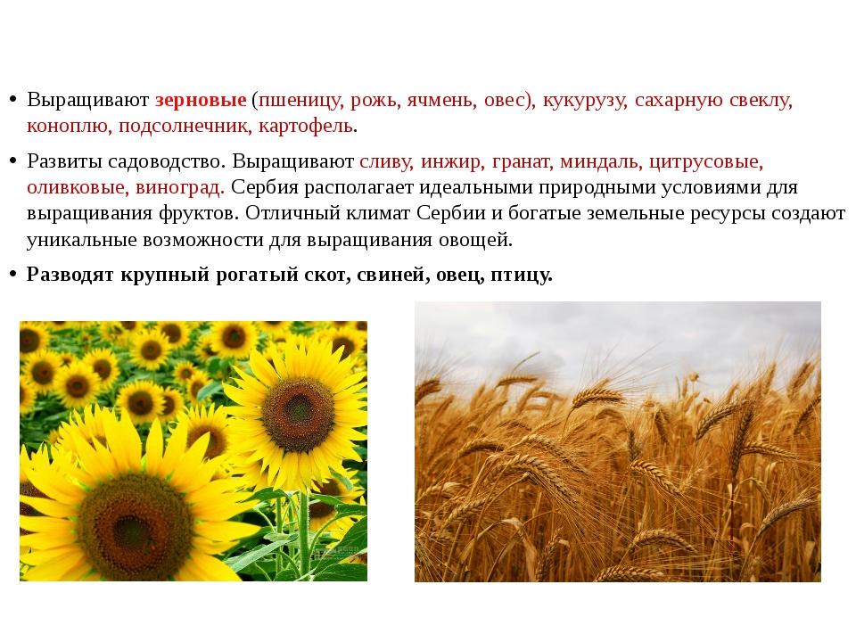 Выращивают зерновые (пшеницу, рожь, ячмень, овес), кукурузу, сахарную свеклу...