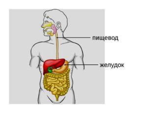 пищевод желудок