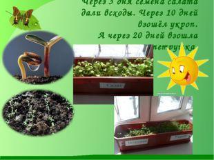 Через 3 дня семена салата дали всходы. Через 10 дней взошёл укроп. А через 20