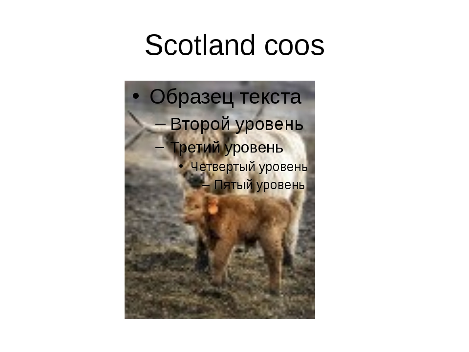 Scotland coos