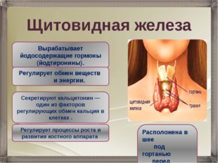 Щитовидная железа Вырабатывает йодосодержащие гормоны (йодтиронины). Регулиру