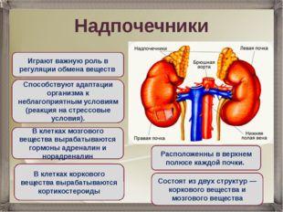 Надпочечники Состоят из двух структур — коркового вещества и мозгового вещест