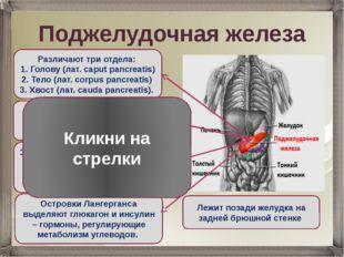Поджелудочная железа Лежит позади желудка на задней брюшной стенке Различают