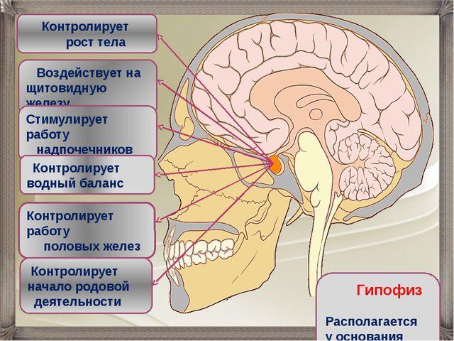 Воздействует на щитовидную железу Контролирует рост тела Стимулирует работу...