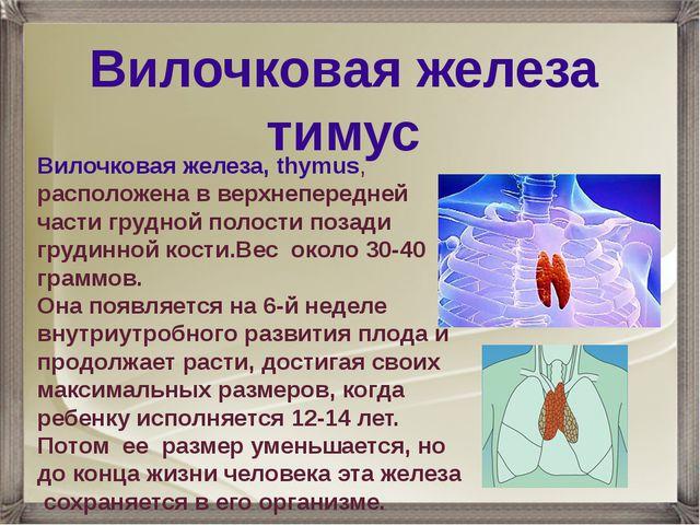 Вилочковая железа, thymus, расположена в верхнепередней части грудной полости...