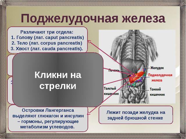 Поджелудочная железа Лежит позади желудка на задней брюшной стенке Различают...