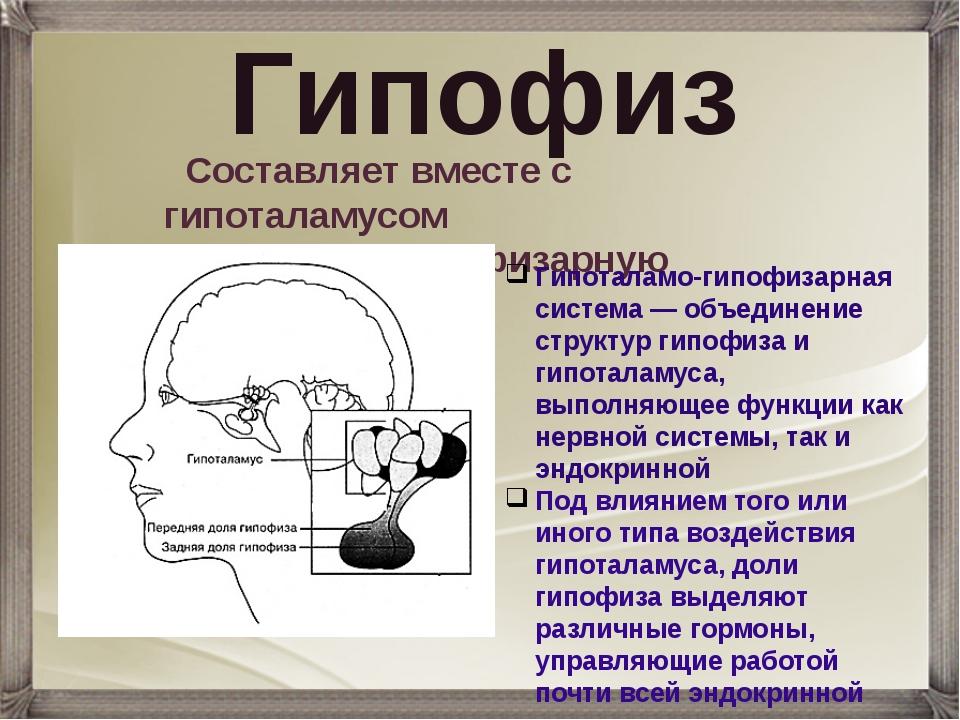 Гипофиз Составляет вместе с гипоталамусом гипоталамо-гипофизарную систему. Ги...