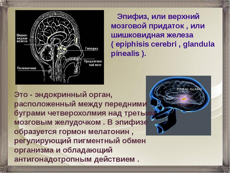 Эпифиз, или верхний мозговой придаток , или шишковидная железа ( epiphisis c...