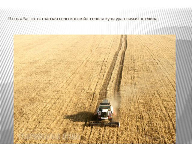 В спк «Рассвет» главная сельскохозяйственная культура-озимая пшеница