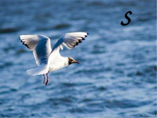 S s a seagull S