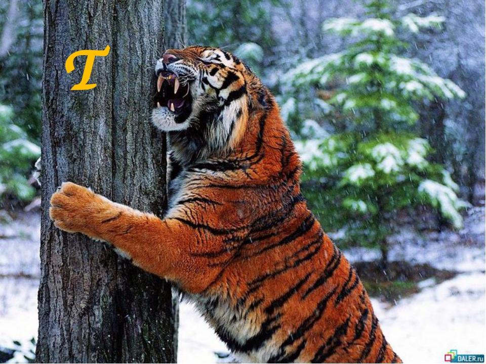 T t a tiger T
