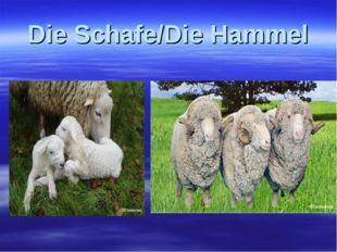 Die Schafe/Die Hammel