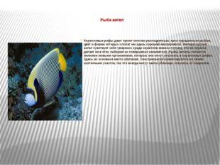 Рыба ангел  Коралловые рифы дают приют многим разноцветным, ярко окрашенным