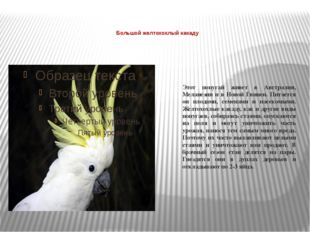 Большой желтохохлый какаду  Этот попугай живет в Австралии, Меланезии и в Н
