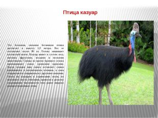 Птица казуар Это большая, сильная бегающая птица достигает в высоту 1,5 метра